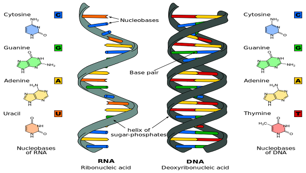 Difference-DNA-and-RNA.jpg